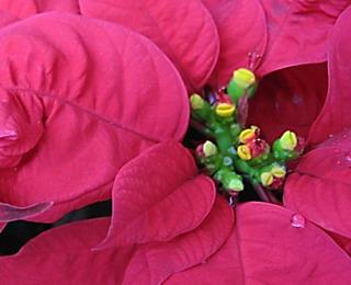 Цветок пуансеттии