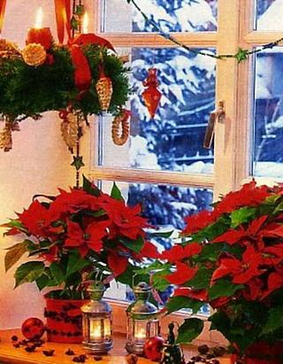 Пуансеттия - символ Рождества в нашем доме