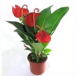 Горшечные цветы и растения — подарок с хорошей аурой